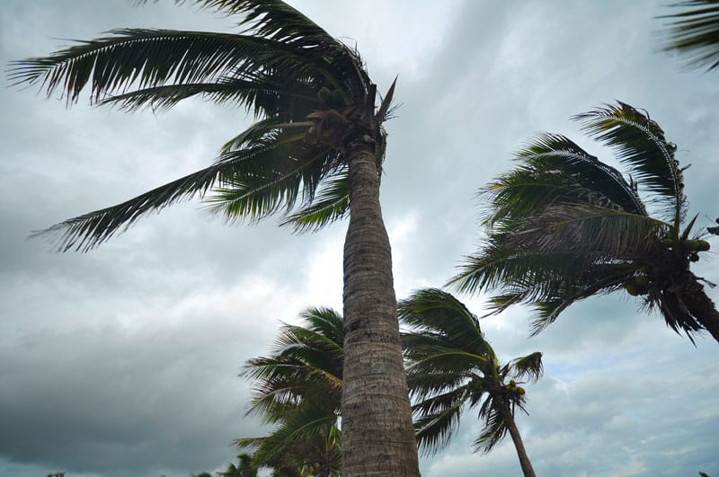 palm trees in a hurricane